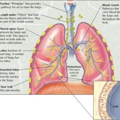 Labeled Diagram Of Octopus Ford Points Distributor Wiring Pulmonary And Critical Care Specialists Northern Virginia, P.c. Promotes Healthy Lungs During ...