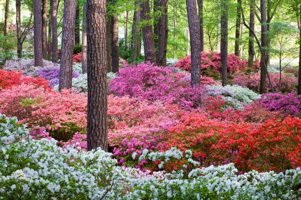 blooming of world-famous azaleas