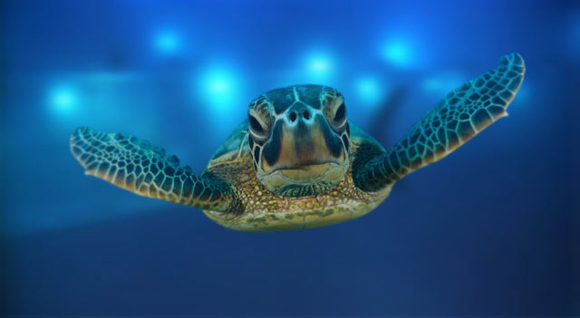 Sea Turtles Are Now Nesting On Kauai