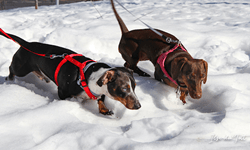 Dachsunds in the snow at their new home