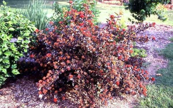 ninebark shrubs provide colorful