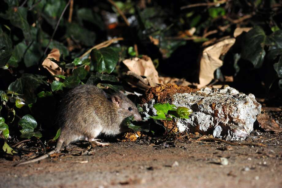Rat complaints in San Francisco have surged over the past ...