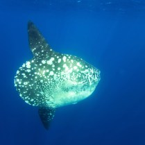 Adult oceanic sunfish (Mola mola) underwater off the west side of Isabela Island in the deep waters surrounding the Galapagos Island Archipeligo, Ecuador. Pacific Ocean.