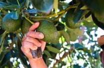 Avocados on a tree in Santa Paula, California.