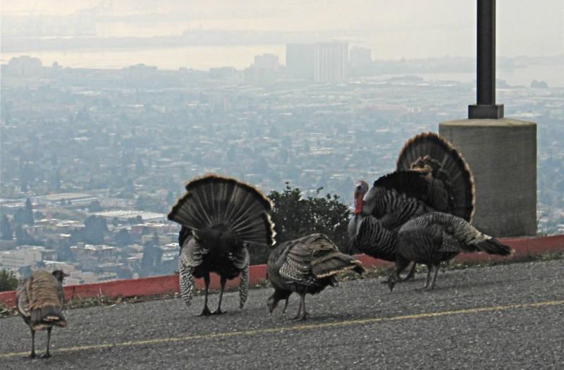 wild turkeys strutting around