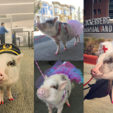 Therapy Pig Arrives at SFO Airport Just When We Need Her Most