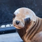 Scientists Investigate a Mysterious Cancer Plaguing California Sea Lions