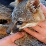 California Fox Makes Fastest Endangered Species Recovery (And It's Pretty Cute)