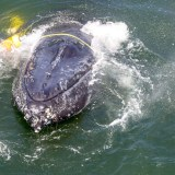 Rescuers Free Whale Tangled in Fishing Gear Off California Coast