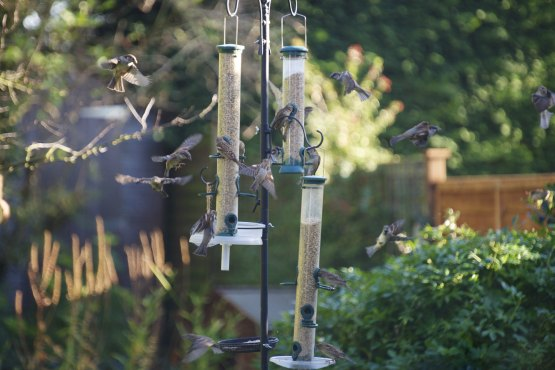 House sparrows coming to bird feeders