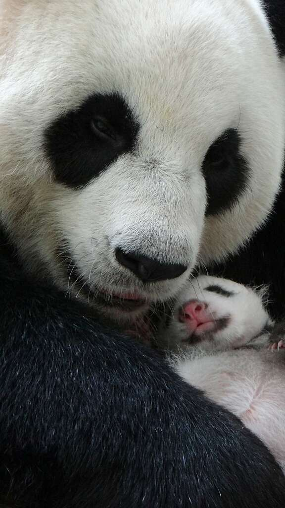 This undated handout photograph released by the Taipei City Zoo on August 15, 2013 shows giant panda Yuan Yuan hugging her baby while sleeping at the Taipei Zoo.  Taiwan's first new-born panda stayed overnight for the first time with her doting mother, zoo-keepers said on August 15, 2013, following a heartwarming reunion that took place in the international limelight.  Photo: Taipei City Zoo, AFP/Getty Images