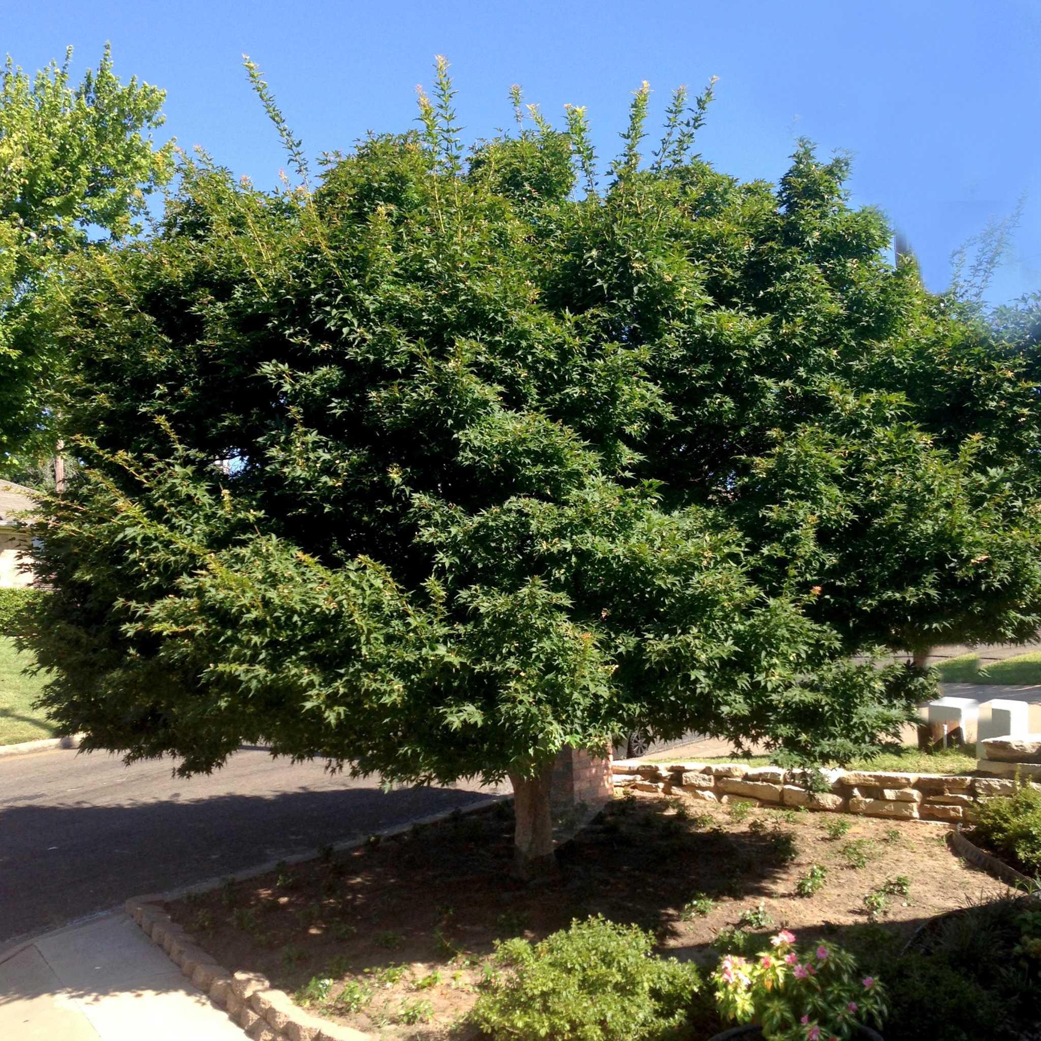 San Antonio Native Cottonwood Trees