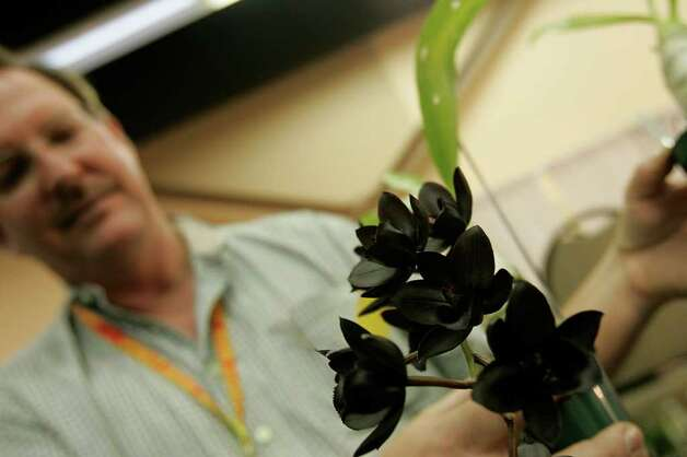 Fred Clarke shows off his exotic black hybrid orchids. Clarke has been collecting and creating hybrid orchids for 35 years. Photo: J. Pat Carter, STF / AP