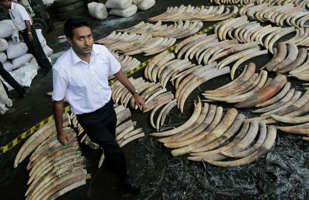A Sri Lankan customs officer walks past seized elephant tusks at a customs warehouse in Colombo, Sri Lanka, Tuesday,. The Sri Lankan customs officials Tuesday seized 400 tusks of African elephants at the Colombo Port from a Dubai bound transit cargo, customs officials said. (AP Photo/Eranga Jayawardena) Photo: Eranga Jayawardena, Associated Press / AP2012
