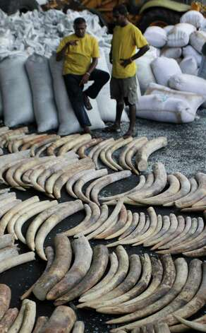 Sri Lankan workers stand near seized elephant tusks at a customs warehouse in Colombo, Sri Lanka, Tuesday. Sri Lankan customs officials Tuesday seized 400 tusks of African elephants at the Colombo Port from a Dubai bound transit cargo, customs officials said. (AP Photo/Eranga Jayawardena) Photo: Eranga Jayawardena, Associated Press / AP2012