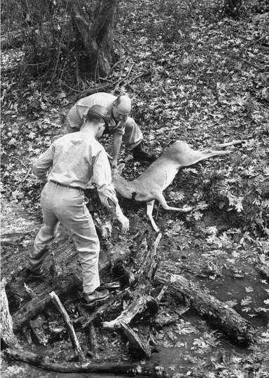 Lugging back a deer, after an early morning hunting trip, 1952.