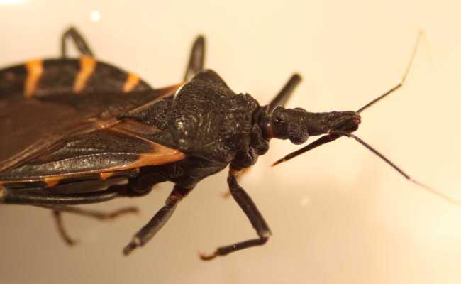 Deadly Kissing Bug Spreads Bites You As You Sleep San