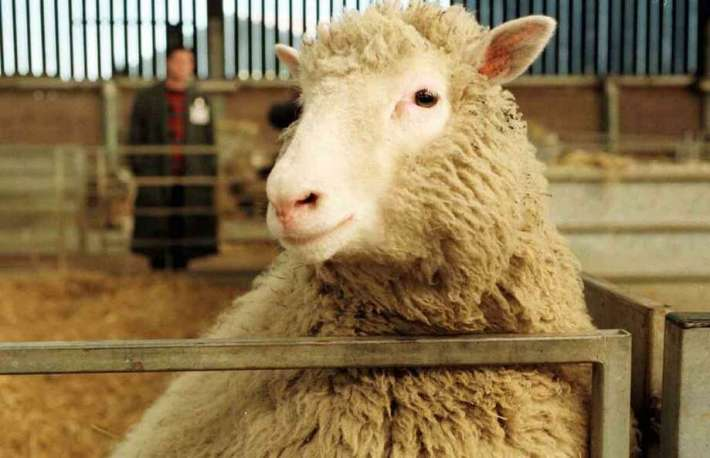 Seven-month-old Dolly, the genetically cloned sheep, looks toward the camera at the Roslin Institute Tuesday, Feb. 25, 1997. It was revealed that Dolly, the first animal to be genetically cloned from adult cells, got her name from Country singer Dolly Parton.See other things scientists have cloned. Photo: ASSOCIATED PRESS / AP1997