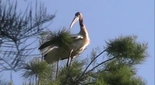 600x331 Big bird, in Stills from Video, by Bret Wagenhorst, May 2009