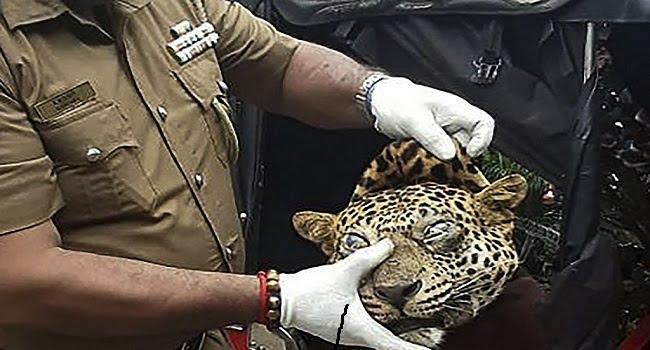 Leopard killings