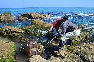 t:岩場にはまったウミガメの救出