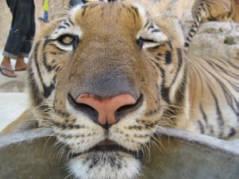 winking tiger