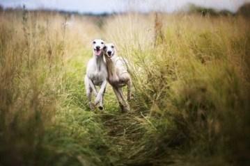Los galgos cazan en zigzag y a la carrera y poseen una vista privilegiada ya que es difícil percibir olores corriendo de esa forma a 60 kilómetros por hora (Shutterstock)