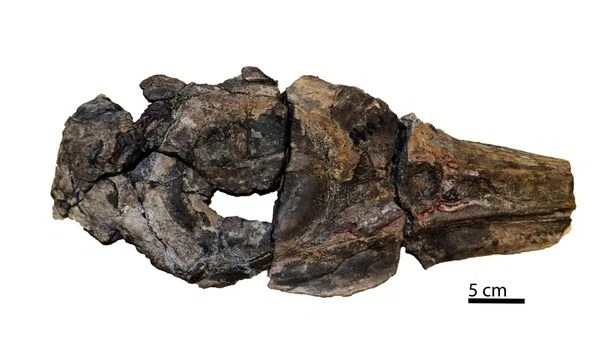 Cientícos reportaron el hallazgo del cráneo, huesos del oído interno y el miembro anterior derecho de un ejemplar de oftalmosaurio que vivió hace unos 150 millones de años