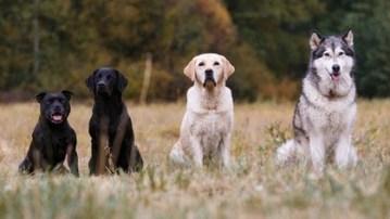 El hombre observó, pensó en las ventajas de esos animales y fue cruzando en consecuencia, logrando luego de muchísimas generaciones y cruzas, un lobo-perro que marcaba firmemente a la presa (Shutterstock)