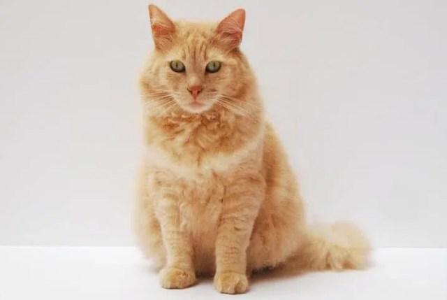 gato laranja parado