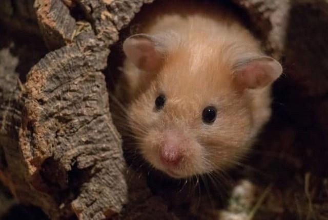 hamster na toca