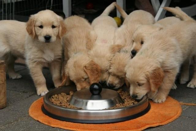 vários filhotes comendo juntos