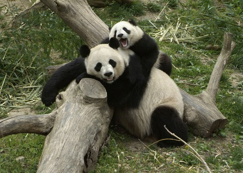 Cute Chinese Babies Wallpapers Panda Cam Return Reaches Server Capacity In Just 10