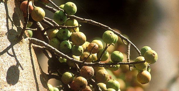 Holy Land Fig Tree