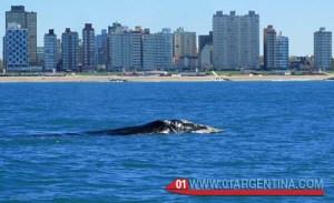 whales in mar del plata