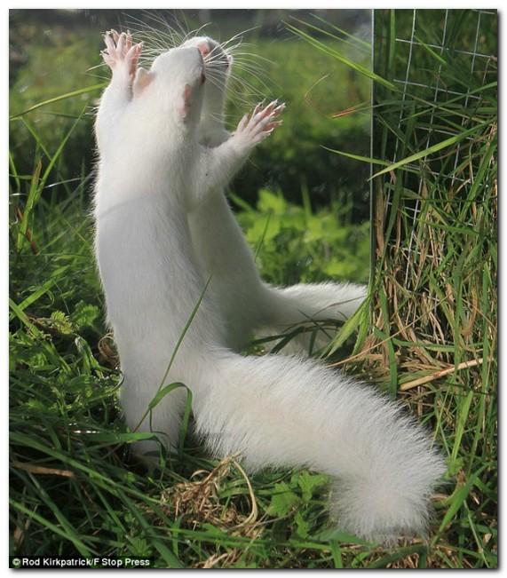 Белка-альбинос была спасена от расправы сородичей