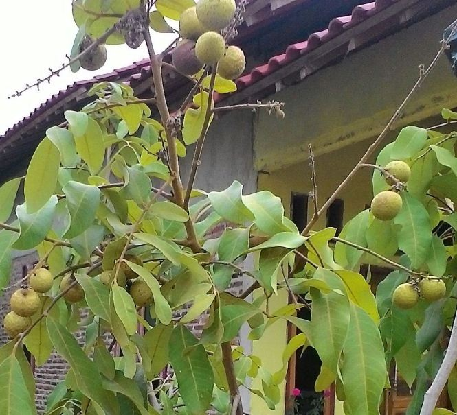 Fruitful Transplanted Longan Trees