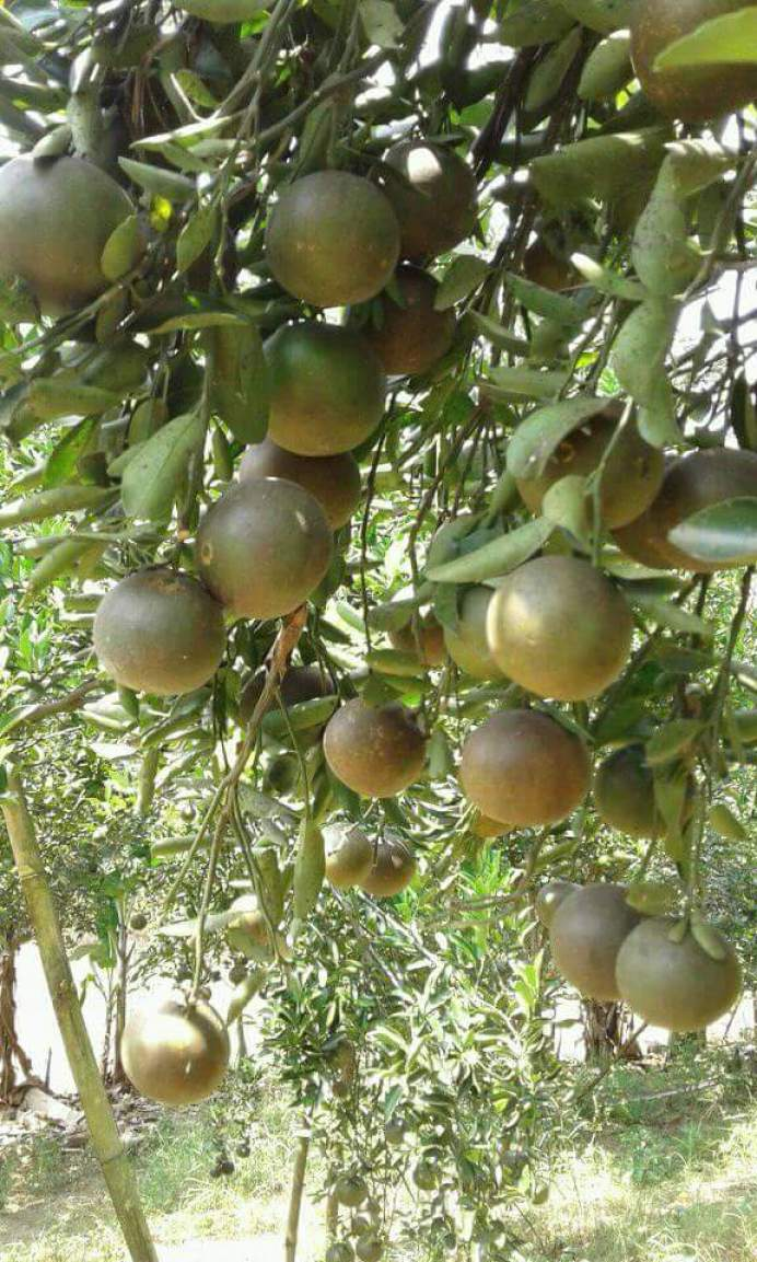 Transplanted Orange Trees