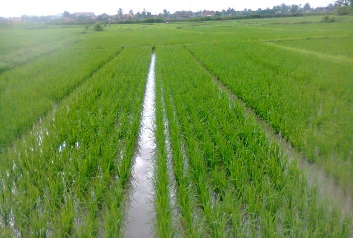 System of Rice Intensification (SRI)
