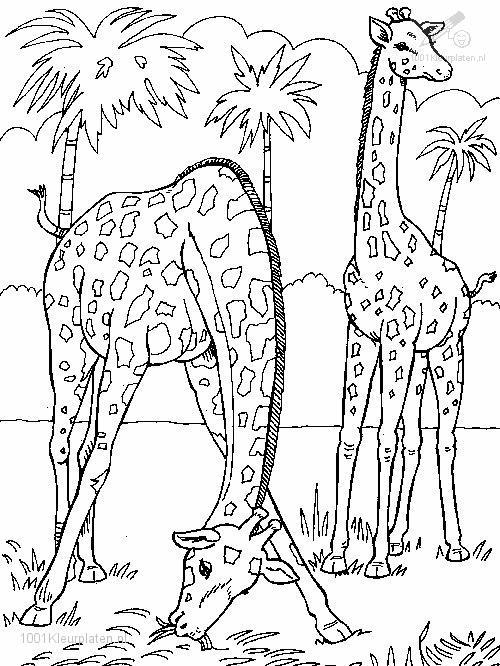 1001 Coloringpages Animals Giraffe Giraffe Coloring Page