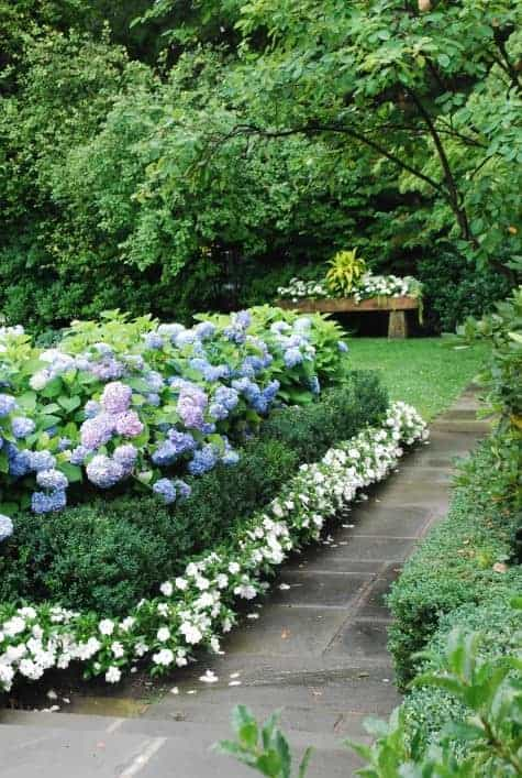 Blue Hydrangeas Boxwood and White Impatiens  1001 Gardens