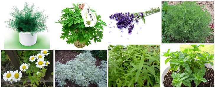 12 Natural Mosquito Repellent Plants  1001 Gardens