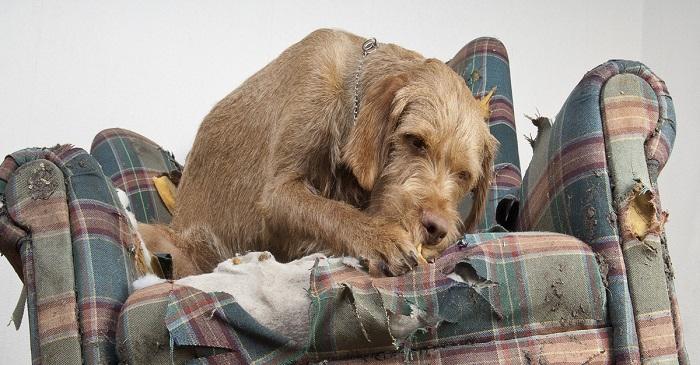 cachorro-destruir-sofa