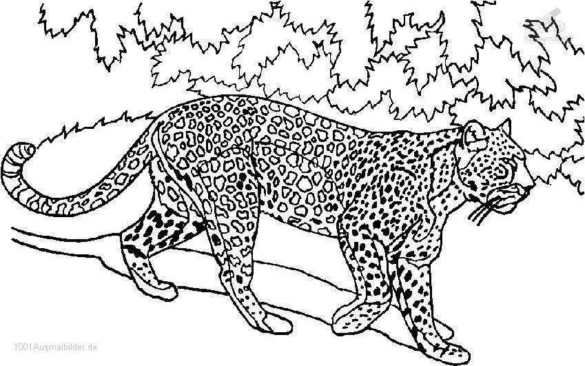 Tiger Malvorlage