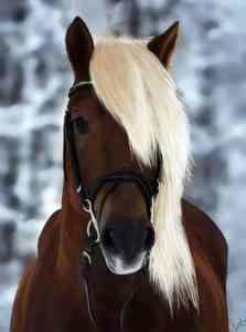 Donker paard met witte manen.