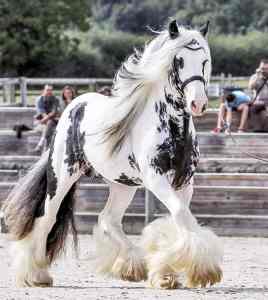 Prachtig verzorgd paard in de bak.