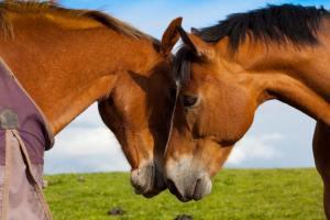 Twee paarden met hun hoofd tegen elkaar