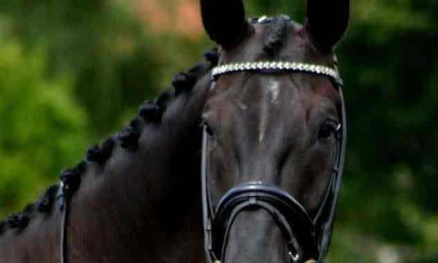 Het verzorgen van een paard. Op deze foto prachtig ingevlochten manen.