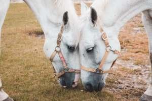 Twee witte paarden grazend