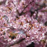 近所の河津桜が葉桜になりつつ。